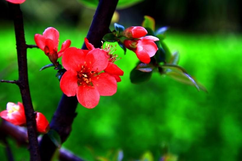 鲜艳美丽的贴梗海棠花欣赏-希望种子