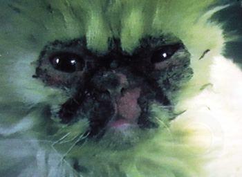 波斯猫:特发性面部皮炎