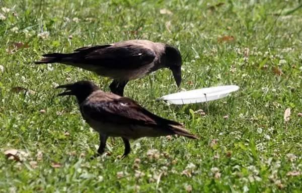 这只乌鸦正在吃盘子上的剩饭,没想它接下来做的事让人超惊讶!-希望zz